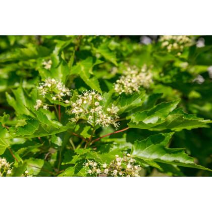Javor tatársky - Acer tataricum - semená javora - 5 ks