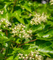 Javor tatarský - Acer tataricum - semená javora - semiačka - 5 ks