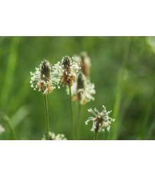 Skorocel kopijovitý - Plantago lanceolata - semená - 0,2 g