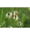 Skorocel kopijovitý - Plantago lanceolata - semená skorocelu - semiačka - 0,2 gr