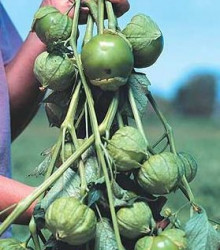 Tomatillo Cisineros - Physalis ixocarpa - semená - 7 ks