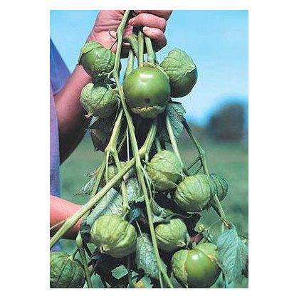 Machovka lepkavá Cisineros - Physalis ixocarpa - tomatillo - semená - 7 ks