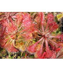 Rosnatka - Drosera spathulata - semená rosnatky - semiačka - 15 ks