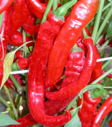 Paprika baraní roh Artist - Capsicum annuum - semená papriky - semiačka - 15 ks