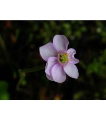 Rosička Drosera venusta - semená rosnatky - semiačka - 15 ks