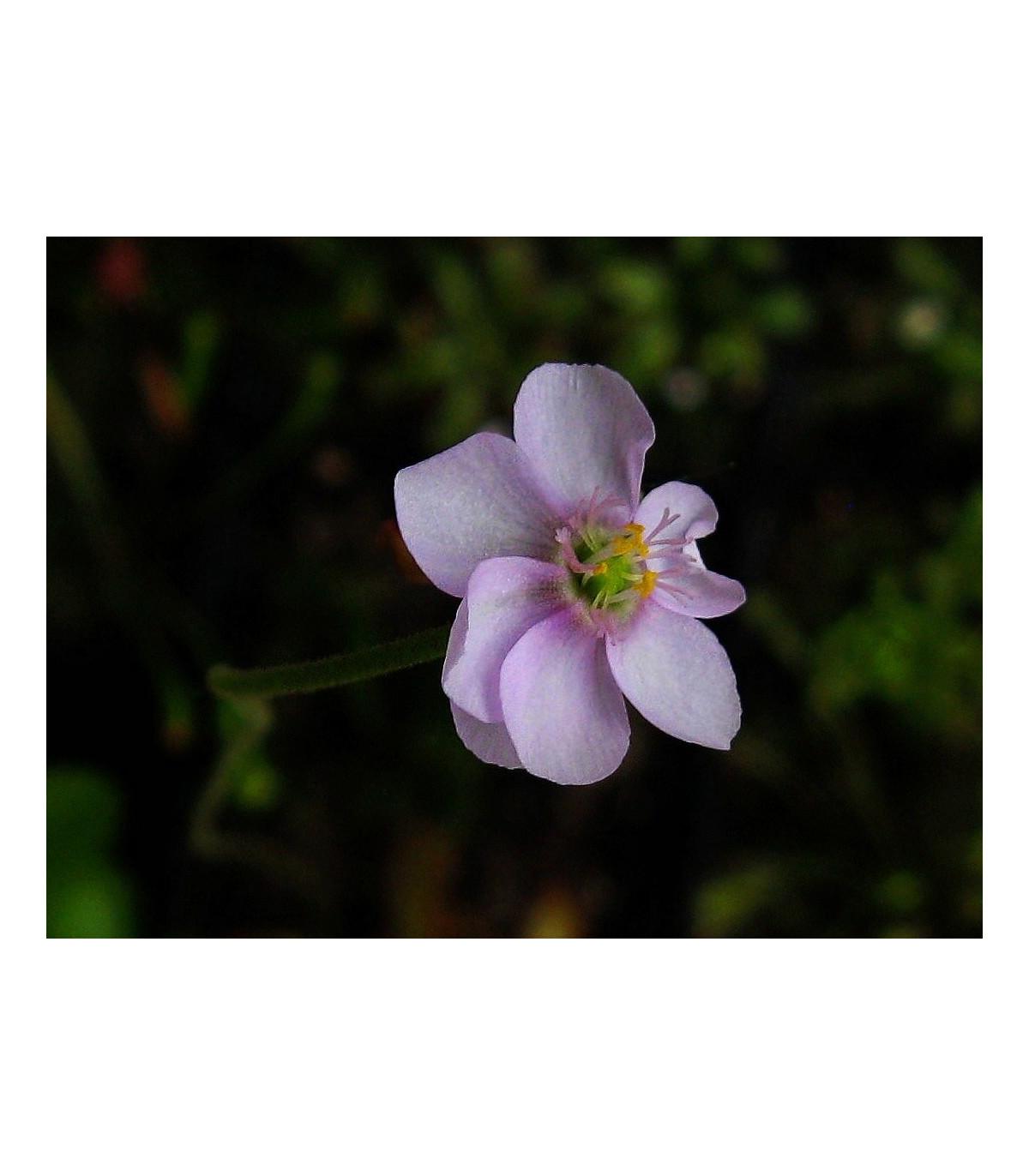Rosička venusta - Drosera venusta - semená - 15 ks