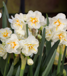 Narcis Sir Winston Churchill - Narcissus L. - cibuľoviny - 3 ks