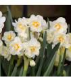 Narcis biely - W-Churchil - cibuľky narcisov - 3 ks