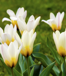Tulipán Concerto - Tulipa - cibuľoviny - 3 ks