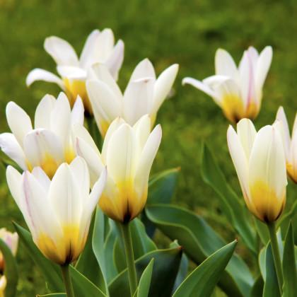 Tulipán Concerto - cibuľky tulipánov - 3 ks