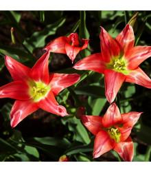 Tulipán Linifolia - Tulipa - cibuľoviny - 3 ks