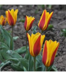 Tulipán nízky Stresa - Tulipa - cibuľoviny - 3 ks
