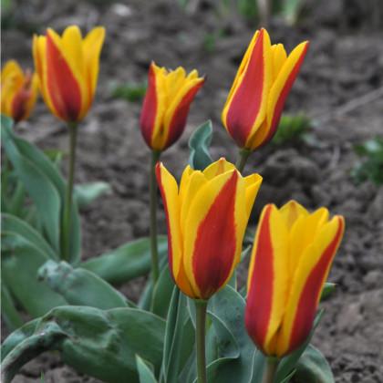 Tulipán nízky Stresa - cibuľky tulipánov - 3 ks