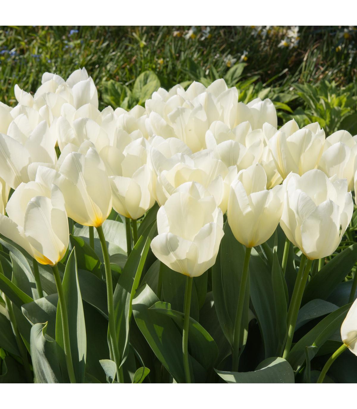 Tulipán Purissima - cibuľky tulipánov - 3 ks