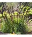 Ozdobná trstina GAhnia filum - semená trstiny - semiačka - 10 ks