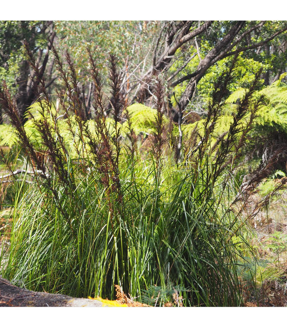 Ozdobná trstina - Gahnia filum - semená ozdobnej trstiny - 10 ks