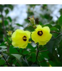 Ibištek lipovitý - Hibiscus tiliaceus - semená - 10 ks