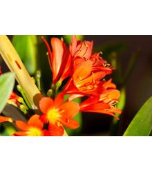 Klívia - Clivia robusta - semená klívie - semiačka - 3 ks