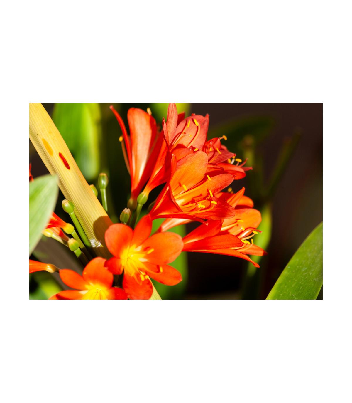 Klívia - Clivia robusta - semená klívie - 6 ks