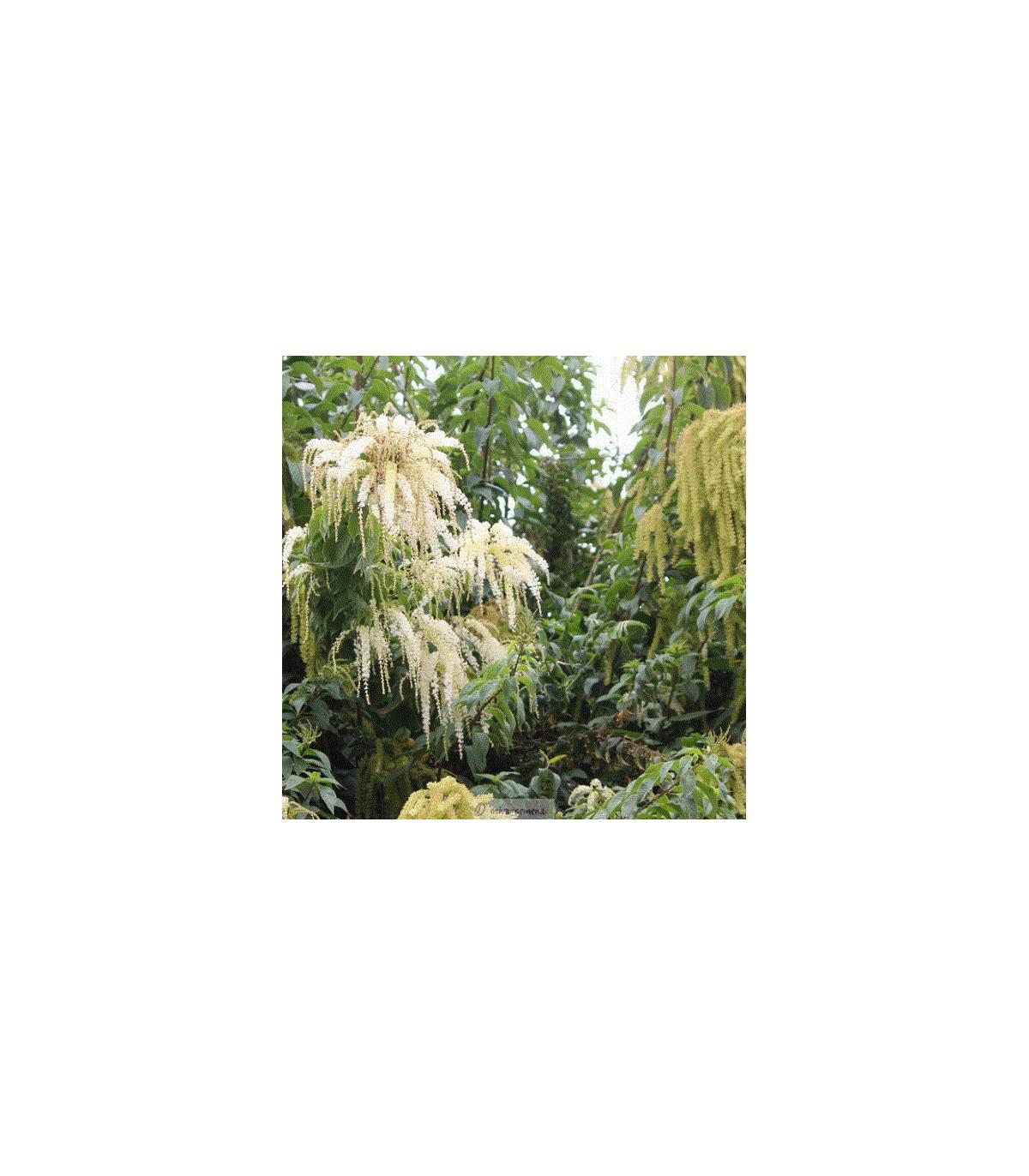 Ledenbergia peruánska - Ledenbergia peruviana - semená ledenbergie - semiačka - 8 ks