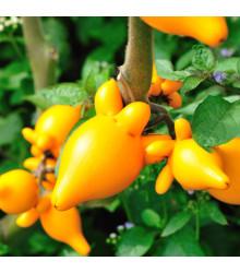 Solanum mammosum - semená - semiačka - 5 ks