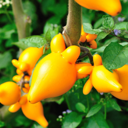 Solanum mammosum - Solanum mammosum - semená solana - 5 ks