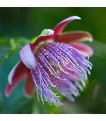 Mučenka maliformis - Passiflora maliformis - semená mučenky - semiačka - 4 ks