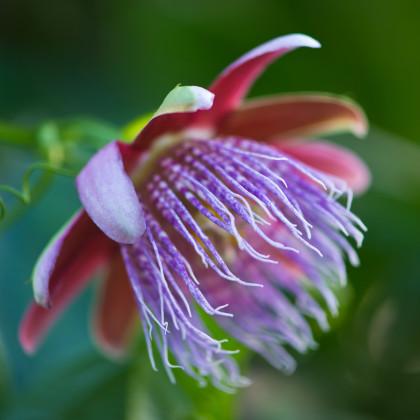 Mučenka maliformis - Passiflora maliformis - semená mučenky - 4 ks