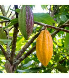 Kakaovník pravý žltý - Theobroma cacao - semená kakaovníka - semiačka - 5 ks
