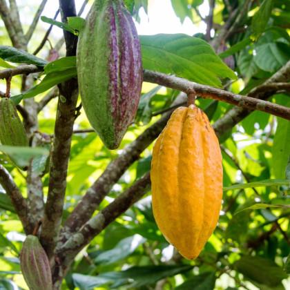 Kakaovník pravý žltý - Theobroma cacao - semená kakaovníka - 5 ks