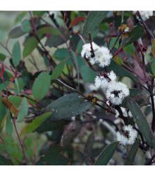 Eukalyptus pauciflora mrazuvzdorný - Eucalyptus pauciflora - semená eukalyptu - semiačka - 8 ks
