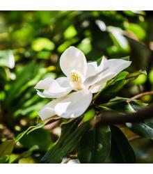 Magnólia veľkokvetá - Magnolia grandiflora - semená magnólie - semiačka - 5 ks
