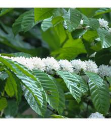 Kávovník robusta - Coffea canephora - semená kávovníka - 5 ks