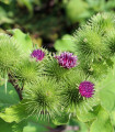 Lopúch väčší - liečivý bodliak - Arctium lappa - semená lopúcha - semiačka - 10 ks