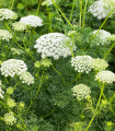 Parasca väčšia - Ammi majus - semená parasce - semiačka - 0,2 gr