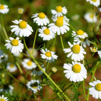Rumanček rímsky - Anthemis nobilis - semená rumančeka - semiačka - 0,1 gr