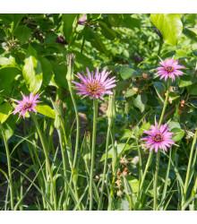 Kozobrada fialová - Tragopogon porrifolius - semená - 90 ks