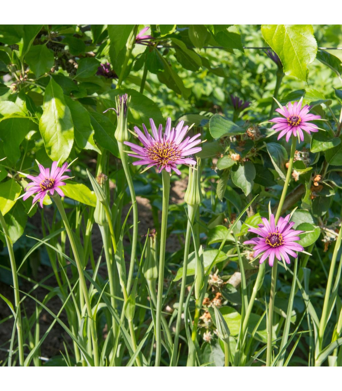 Kozobrada fialová - Tragopogon porrifolius - semená kozybrady - semiačka - 1,2 gr