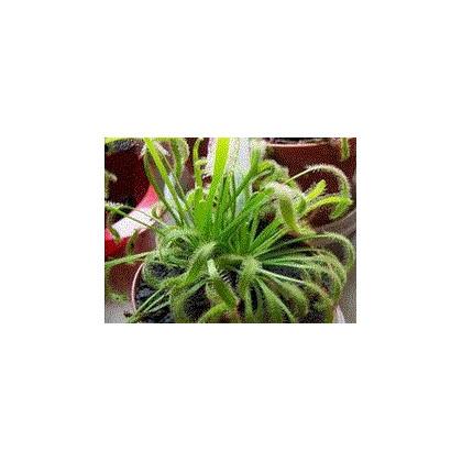 Rosnatka kapská zmes - Drosera capensis zmes - semená rosnatky - semiačka - 15 ks