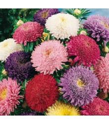 Astra čínska Princezná zmes farieb - Callistephus chinensis - semená - 1 g