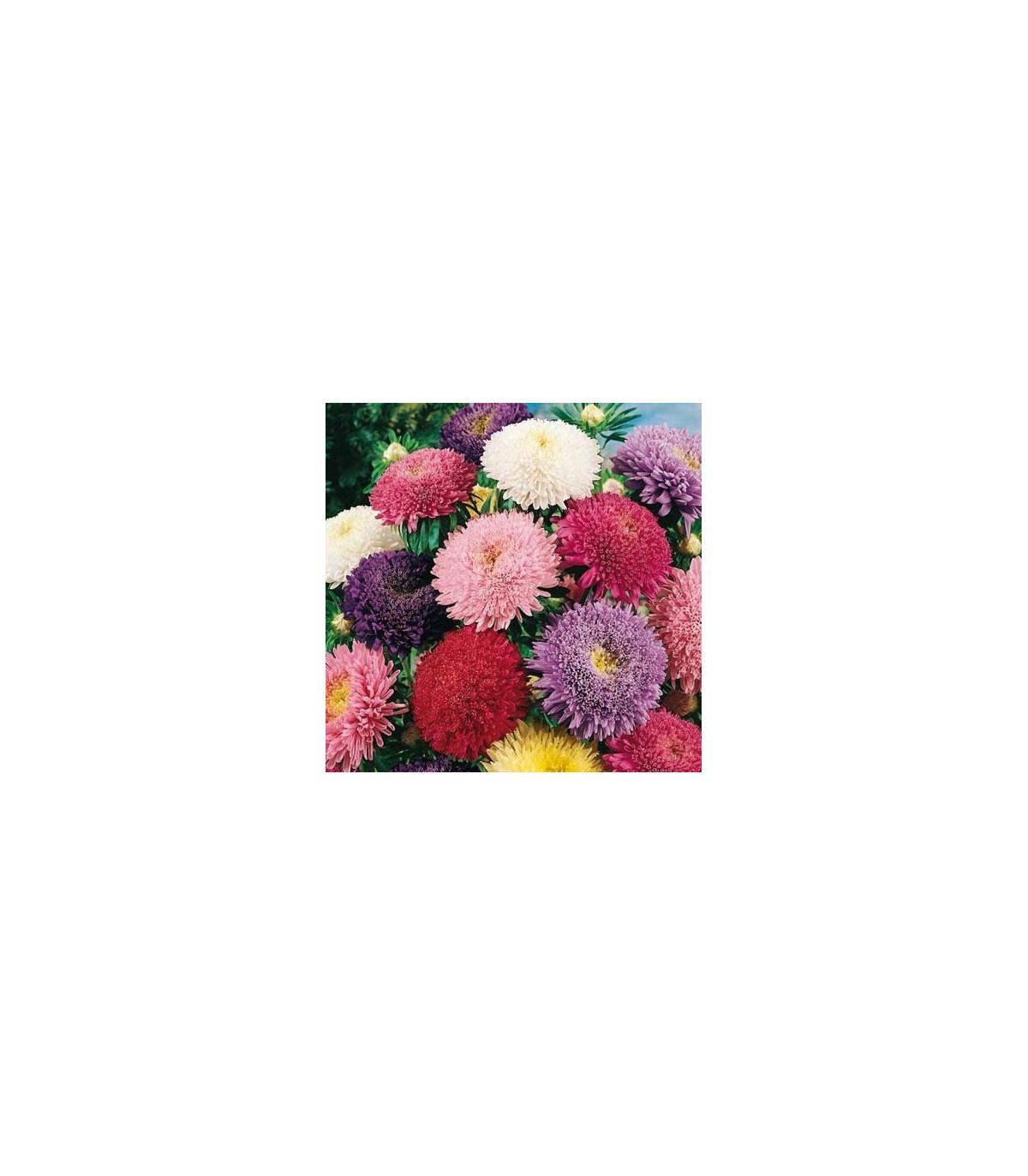 Astra čínska Princezná zmes farieb - semená Astry-1 gr