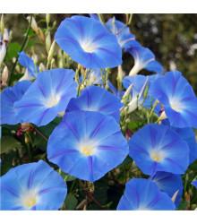 Povojník modrý - Ipomoea rubro coerulea - semená - 25 ks