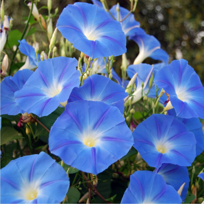 Povojník modrý - Ipomoea rubro coerulea - semená povojníka - semiačka 25 ks