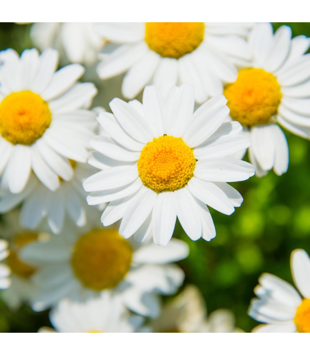 Margaréta balkónová biela - Chrysanthemum paludosum - semená - 500 ks