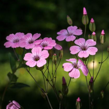 Silenka zmes farieb - Silene coeli - semená - 150 ks