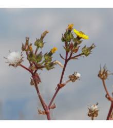 More about Locika kompasová - Lactusa serriola - semená - 10 ks