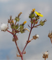 Locika kompasová - Lactusa serriola - semená lociky - semiačka - 10 ks