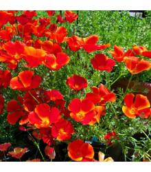 Slncovka kalifornská červená - Eschscholzia californica - semená - 450 ks