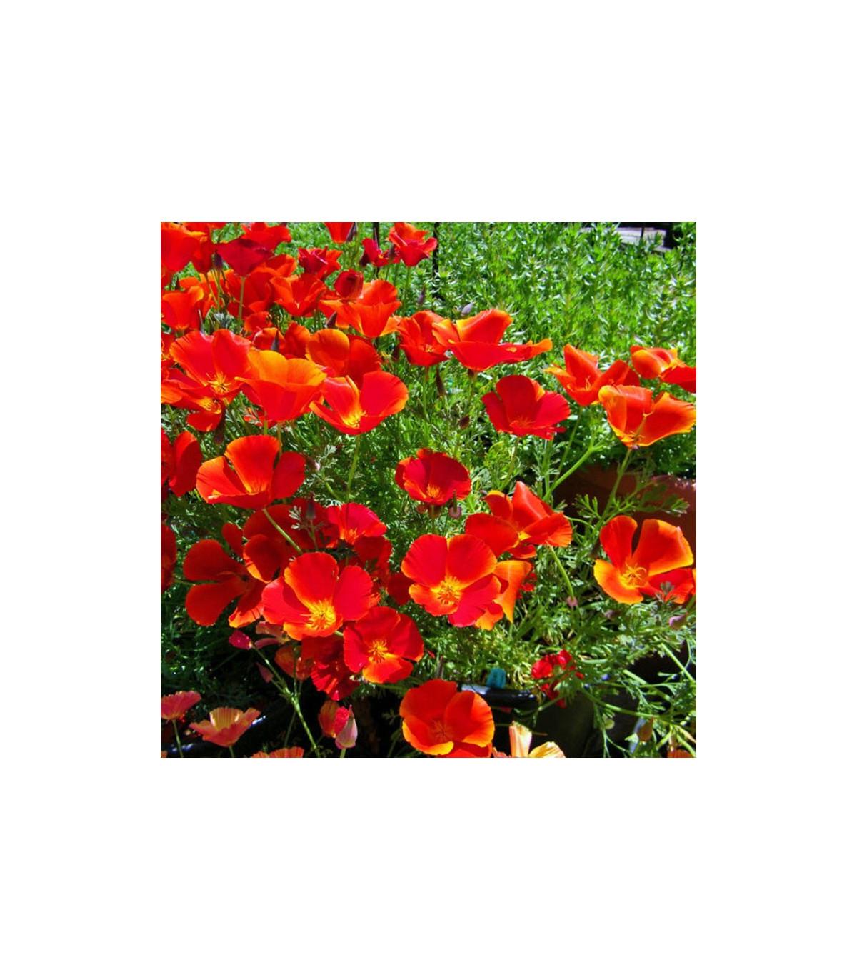 Slncovka kalifornská červená - Eschscholzia californica - semená slncovky - semiačka - 0,7 gr
