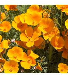 Slncovka kalifornská oranžová - Eschscholzia californica - semená - 450 ks